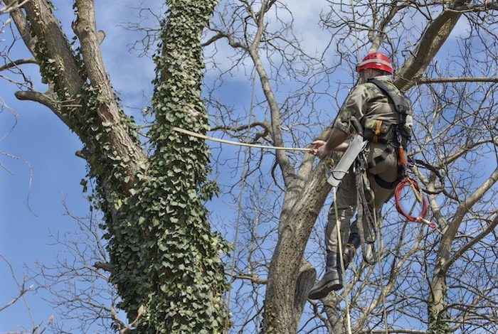 Tree Trimming Service - pruning a large red maple